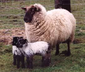 breeds of sheep  all kinds